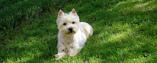 Il West Highland White Terrier: un concentrato di simpatia!