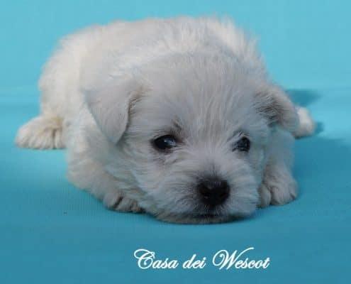Cuccioli Westie Casa dei Wescot