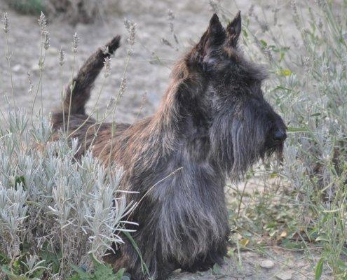 Scottish Terrier Brindle